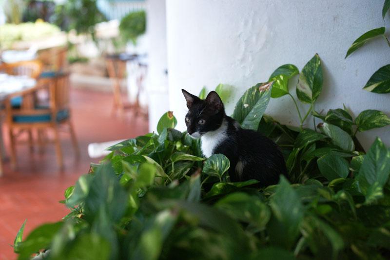 サイパンの猫