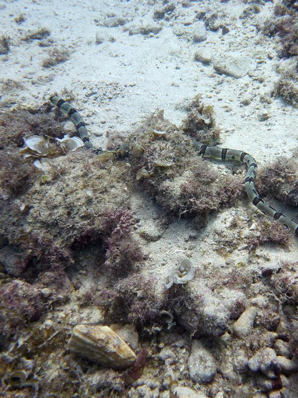 ダイビング:ラウラウビーチのアナゴ